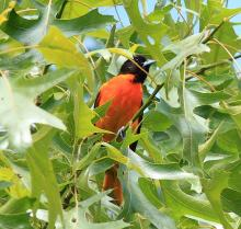 A Baltimore oriole in Sudbury, photographed by Dan Trippe.