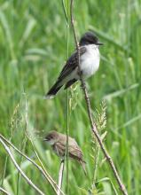 An eastern phoebe (bottom) and eastern kingbird (top) in Sudbury, photographed by Dan Trippe.