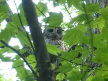 A barred owl at Red Acre Woodlands in Stow, photographed by Cathy Leonard.