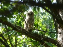 A barred owl owlet at Red Acre Woodlands in Stow, photographed by Cathy Leonard.