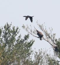 A bald eagle and a double-crested cormorant at Foss Reservoir in Framingham, photographed by Steve Forman.