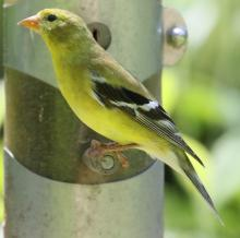 An American goldfinch at Tower Hill in Boylston, photographed by Steve Forman.