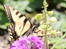 An eastern tiger swallowtail at Tower Hill in Boylston, photographed by Steve Forman.