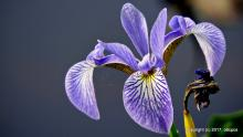 Blue flag iris at Fiske Pond in Natick, photographed by Michael Kolodny.