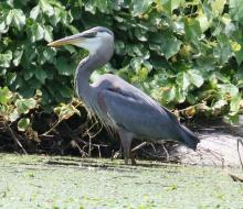 A great blue heron in Sudbury, photographed by Steve Forman.