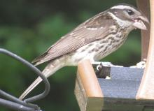 A rose-breasted grosbeak in Framingham, photographed by Steve Forman.