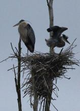 Great blue herons at SVT's Lyons-Cutler Reservation in Sudbury, photographed by Martha Pfeiffer.