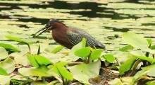 A green heron at Hop Brook Conservation Land in Sudbury, photographed by Dan Trippe.