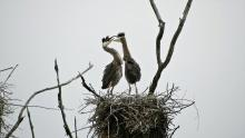 Great blue herons at SVT's Lyons-Cutler Reservation in Sudbury, photographed by Michael Kolodny.