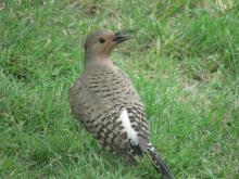 A northern flicker in Stow.