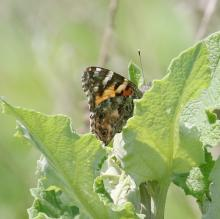 A painted lady butterfly at Breakneck Hill Conservation Land in Southborough, photographed by Steve Forman.