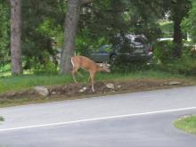 A white-tailed deer in Stow.