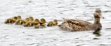 Mallards at Farm Pond in Framingham, photographed by Steve Forman.