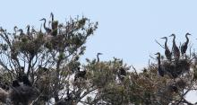 Great blue herons and double-crested cormorants at their nests on the Sudbury Reservoir in Southborough, photographed by Steve Forman.
