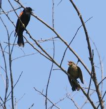 Red-winged blackbirds in Southborough, photographed by Steve Forman.
