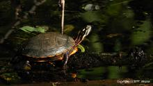 A painted turtle at Eames Brook in Framingham, photographed by Michael Kolodny.