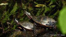 Painted turtles at Eames Brook in Framingham, photographed by Michael Kolodny.