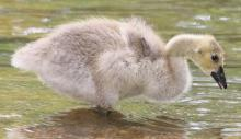 A Canada goose gosling at Great Meadows National Wildlife Refuge in Concord, photographed by Steve Forman.