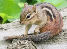 An eastern chipmunk at Mass Audubon's Drumlin Farm Wildlife Sanctuary in Lincoln, photographed by Steve Forman.