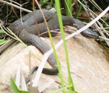 A northern water snake at Great Meadows National Wildlife Refuge in Concord, photographed by Steve Forman.
