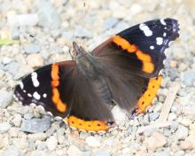A red admiral butterfly at Great Meadows National Wildlife Refuge in Concord, photographed by Steve Forman.