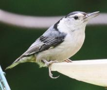 A white-breasted nuthatch at Mass Audubon's Drumlin Farm Wildlife Sanctuary in Lincoln, photographed by Steve Forman.