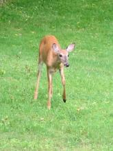 A white-tailed deer in Framingham, photographed by Todd Boli.