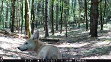A coyote pup in Stow, photographed with an automatically triggered wildlife camera by Kathy Sferra.
