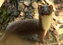 A short-tailed weasel at SVT's Memorial Forest in Sudbury, photographed by Dan Trippe.