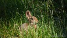 A cotton-tailed rabbit along the Aqueduct Trail in Framingham, photographed by Michael Kolodny.