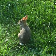 A cotton-tailed rabbit in Framingham, photographed by Nancy Shaw.