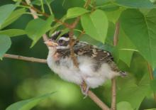 A fledgling rose-breasted grosbeak in Lincoln, photographed by Norm Levey.