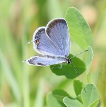 An eastern-tailed blue butterfly at Farm Pond in Framingham, photographed by Steve Forman.