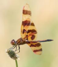 A Halloween pennant dragonfly at Farm Pond in Framingham, photographed by Steve Forman.