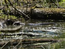 River otters in a beaver pond at Summer Star Wildlife Sanctuary in Boylston, photographed by Ron McAdow.