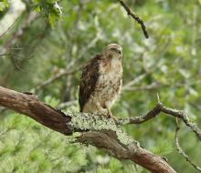 A red-tailed hawk at Assabet River National Wildlife Refuge in Sudbury, photographed by Dan Trippe.