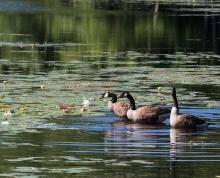 Canada geese at Hamlen Woods in Wayland, photographed by Wayne Hall.