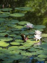 Water lilies at Hamlen Woods in Wayland, photographed by Wayne Hall.