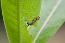 A Monarch caterpillar in Sudbury, photographed by Dawn Dentzer.