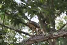 A red-tailed hawk in Sudbury, photographed by Diane Seligman.