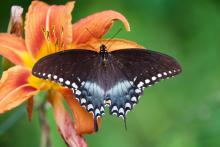 A spicebush swallowtail butterfly in Sudbury, photographed by Dawn Dentzer.