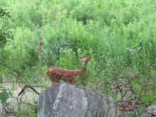 A white-tailed deer fawn in Stow.