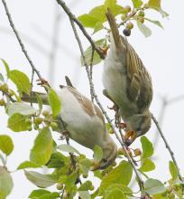 House sparrows at Breakneck Hill Conservation Land in Southborough, photographed by Steve Forman.
