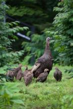 Turkeys in Sudbury, photographed by Dawn Dentzer.