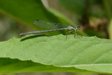 A fragile forktail damselfly at Great Meadows National Wildlife Refuge in Concord, photographed by Greg Dysart.