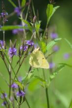 An orange sulphur butterfly at Greenways Conservation Area in Wayland, photographed by Dawn Dentzer.