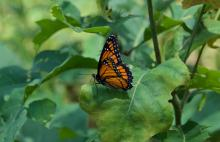 A viceroy butterfly at Greenways Conservation Area in Wayland, photographed by Dawn Dentzer.