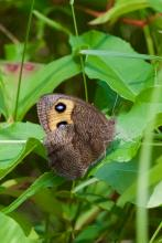 A wood nymph butterfly at Greenways Conservation Area in Wayland, photographed by Dawn Dentzer.