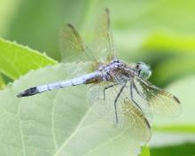 A blue dasher at Grist Mill Pond in Sudbury, photographed by Steve Forman.