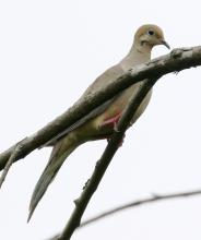 A mourning dove at Breakneck Hill Conservation Land in Southborough, photographed by Steve Forman.